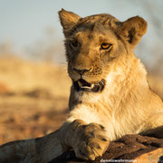 lion | lion encounter | victoria falls | zimbabwe 2014