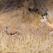 springbock | central kalahari | botswana