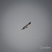 eagle | kgalagadi transfrontier park | botswana 2018