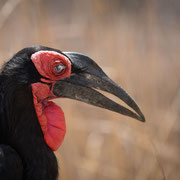 southern ground hornbill krueger national park | south africa 2016