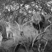 lion male introducing his cubs | karongwe game reserve | south africa 2016