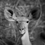 antilope | karongwe game reserve | south africa 2016