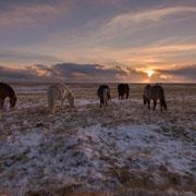 iceland ponies | island 2016