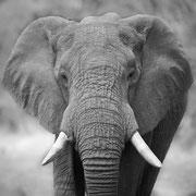 elephant | khwai concession  | botswana 2017