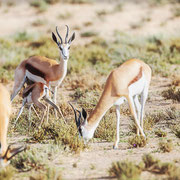 springbock | kgalagadi transfrontier park | botswana 2018