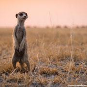 meerkat | magadakgaki pan | botswana 2014