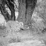 kgalagadi african wildlife safari photography dennis wehrmann www.awsomewild.de