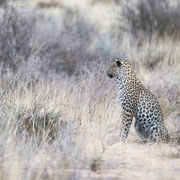 leopard | kgalagadi transfrontier park | botswana 2018
