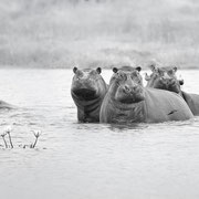 the home of the hippo | khwai concessionl | botswana 2017