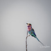 lilac breasted roller | kgalagadi transfrontier park | botswana 2018