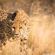 cheetah | botswana 2014