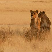 lion | etosha national park | namibia 2012