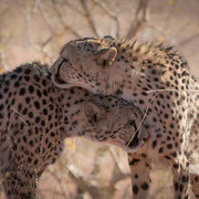 cheetah at farm kanaan | namib naukluft park | namibia 2015