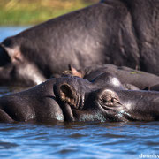 hippo pools | chobe riverfront sedudu island | botswana 2014