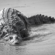 crocodile | krueger national park | south africa 2016
