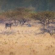 cheetah | nxai pan | botswana