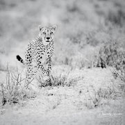 cheetah | kgalagadi transfrontier park african wildlife safari photography dennis wehrmann www.awsomewild.de