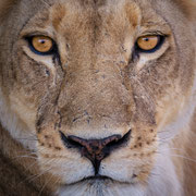lion | khwai concession moremi game reserve | botswana 2017