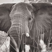 elefant at chief`s island | okavango delta | botswana 2014