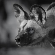 wild dog | central kalahari game reserve | botswana 2017