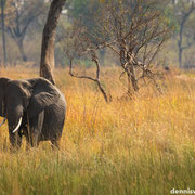 elephant with cub | chief`s island okavango delta | botswana 2014