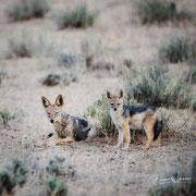 jackal | kgalagadi transfrontier park | botswana 2018