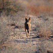 fox | central kalahari  | botswana 2017