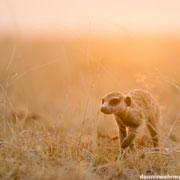 meerkat | makgadikgadi pans | botswana 2014