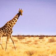 giraffe | etosha national park | namibia 2012