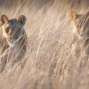 lions | central kalahari game reserve | botswana