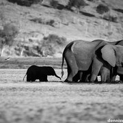 elephants | chobe riverfront sedudu island | botswana 2014