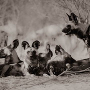 wilddogs | central kalahari game reserve | botswana