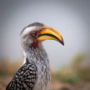 hornbill | krueger national park | south africa 2016