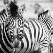 zebras | etosha national park | namibia 2012