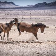 wild horses namibia | garup namib desert | namibia 2015