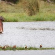 hippo | khwai concession | botswana