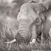 elefant at chief`s island | okavango delta | botswana 2014