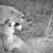 mother`s love | lions khwai concession moremi game reserve | botswana 2017
