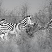 zebra | central kalahari | botswana