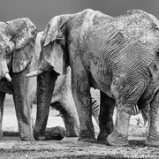 elephants | etosha national park | namibia 2012