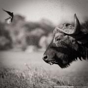buffalo | sedudu island chobe riverfront | botswana 2014