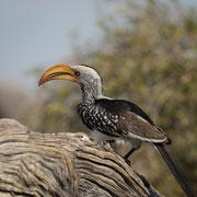 hornbill | elephant sands | botswana 2014