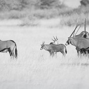 oryx | kgalagadi | namibia 2018