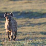 hyena | chobe national park | botswana 2014