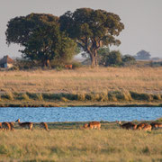 lechwe antilopes | chobe national park | botswana 2014