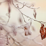 "Title: ""Frosty leaves 01"", december 2014 (printed on ""fine art baryta"")"