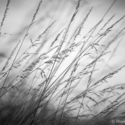 "Poetic grasses 02, b&w, july 2013 (printed on ""bamboo"")"