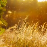 """Grasses in the golden light 01, june 2014 (printed on """"fine art baryta"""")"""