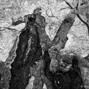 "Title: ""Ancient beech tree 02, b&w"", may 2012 (printed on ""bamboo"")"