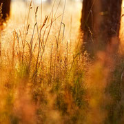 "Grasses in the golden light 02, july 2014 (printed on ""fine art baryta"")"